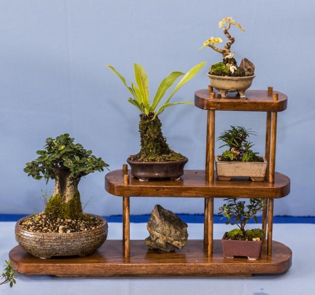 nature to miniature bonsai society of australia inc. Black Bedroom Furniture Sets. Home Design Ideas