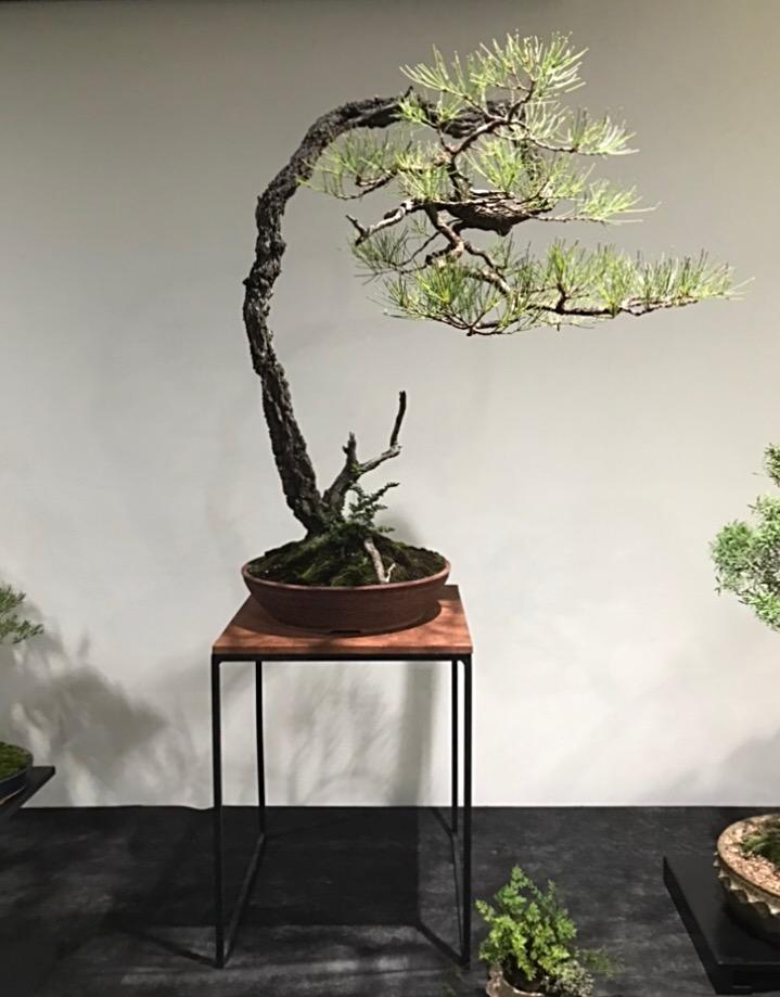 Ray's Banksia serrata, Cape York ready to move forward.